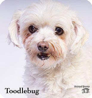 dog adoption house baton rouge metairie la poodle miniature maltese mix meet toodlebug baton rouge a dog for