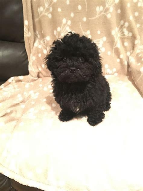 shih tzu x poodle for sale shih tzu x poodle puppy for sale haywards heath west sussex pets4homes