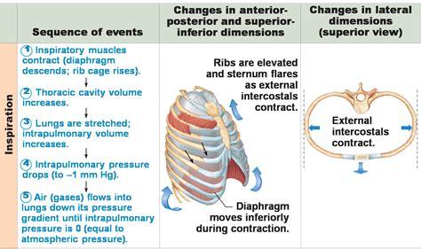 inhalation diagram pin inhalation and exhalation diagram 1 on