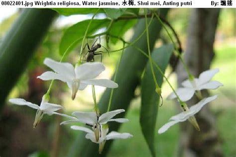 Anting Bunga Melati 08022401 htm wrightia religiosa water 水梅 shui mei anting putri