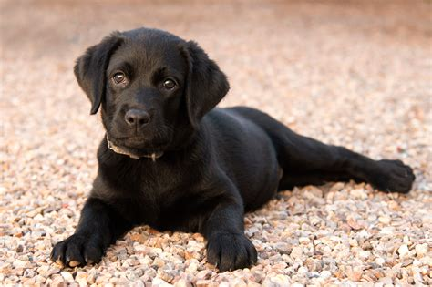 labrador puppy price buying a labrador puppy price and everything you need to