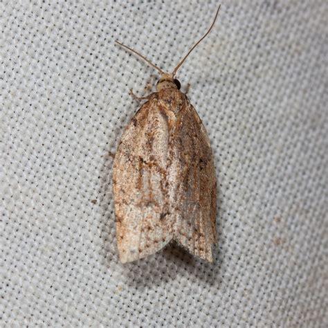 light brown apple moth light brown apple moth common sf bay area moths