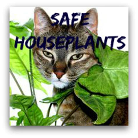 house plants safe for cats china doll plant care radermachera sinica