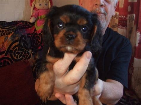 st charles cavalier puppy cavalier king charles puppies st helens merseyside pets4homes