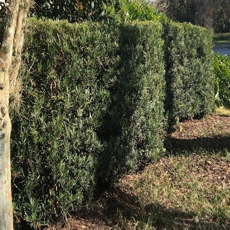 gal yew plum pine podocarpus shrub pg  home depot