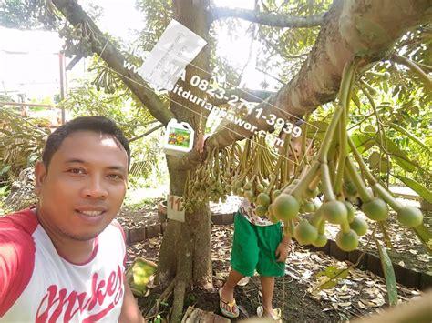 Bibit Durian Bawor Berbuah bibit durian montong bibit durian unggul durian bawor