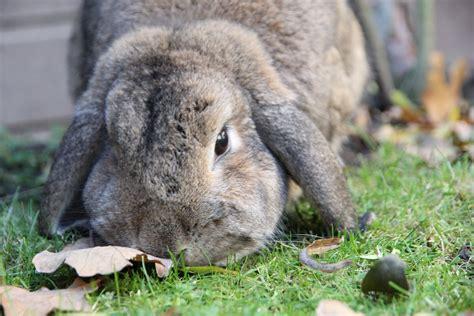 pipi sul divano comportamento il mio coniglio nano