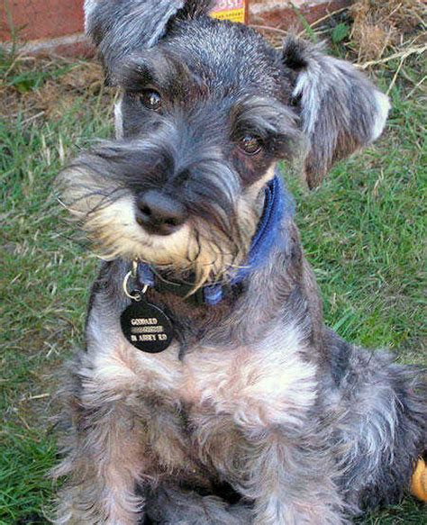 miniature schnauzer dog breed breeds dog miniature schnauzer dog breeding