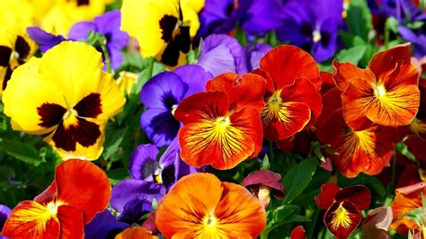 flower yard wallpaper spring pansies bloom on a glade wallpapers and images