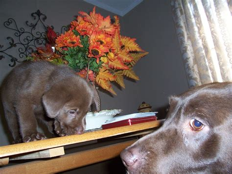 blooded lab puppies for sale in sc labrador retriever lab breeders in south carolina freedoglistings breeds picture