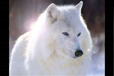 imagenes de animales lobos imagenes de lobos youtube