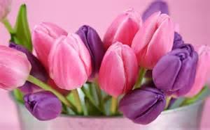 wallpapers purple tulips flowers wallpapers