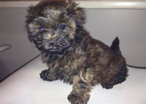 Giveaway Puppies Brisbane - for sale cavoodles tiny toy