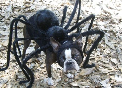 puppy spider a spider the size of a puppy yes cyclonefanatic the s most