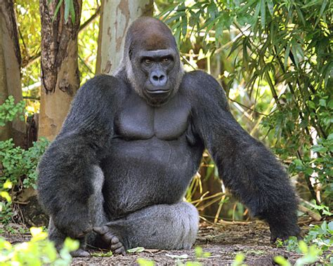 Gorilla Trekking In Rwanda, Uganda And Congo   HuffPost
