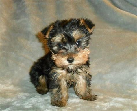 yorkie poo growth chart 1000 images about terrys yorkies puppies on