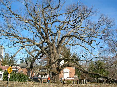 7 cherry tree ridge nj file basking ridge oak tree basking ridge nj november 2012 jpg wikimedia commons