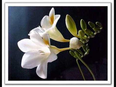 imagenes de flores nardos miguel de molina araceli flor de nardo youtube