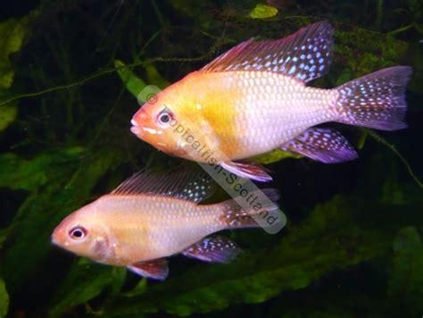 ram fish gold ram cichlid