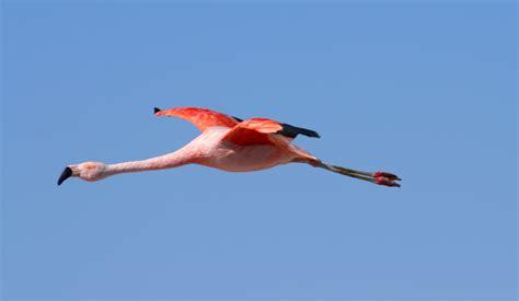 flying on flamingo flying