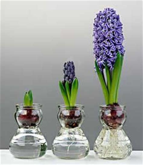 vasi per bulbi forzare fioritura bulbi la tecnica per costringere la