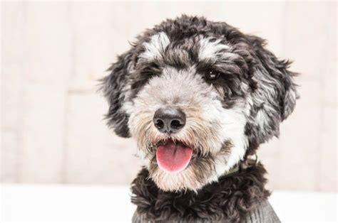 doodle puppy kopen miniature goldendoodle