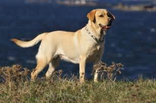 color labs 5 surprising facts about labrador retrievers mnn