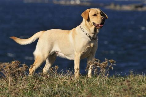 labs dogs 5 surprising facts about labrador retrievers mnn nature network