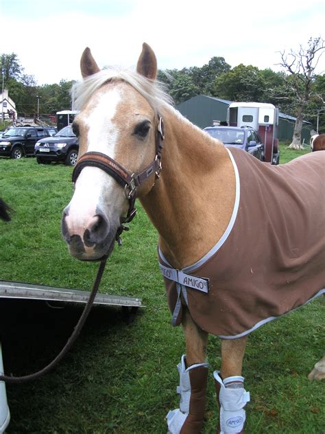 horses for sale uk uk horses for sale adoption buy sell adpost