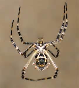 Garden Spider San Diego Silver Garden Spider Argiope Argentata Bugguide Net