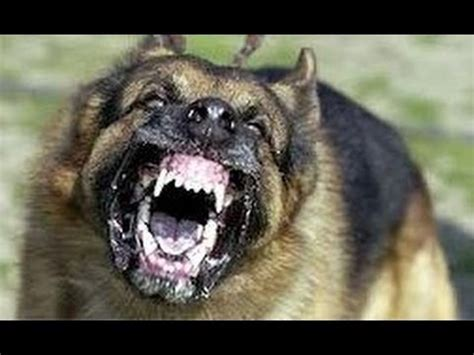 vicious dogs top 10 dangerous dogs in the world 2012 www pixshark