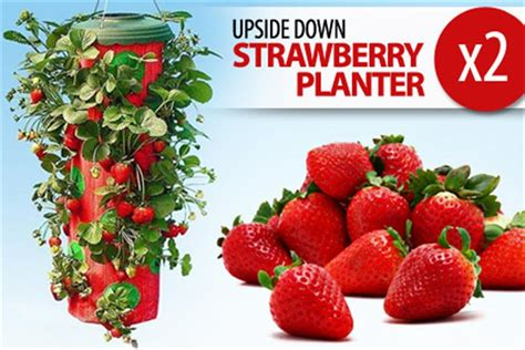 scoopon 2 x upside down strawberry planter only 17