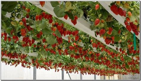hanging strawberries in israel garden vertical