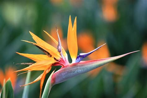 fiore sterlizia strelizia piante da giardino strelizia alba