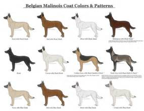 german shepherd color chart belgian malinois coat colors and patterns by xlunastarx on