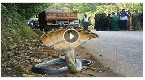 b real snake amazing seven wonders of the world amazing 7 headed
