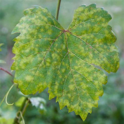 downy mildew symptoms treatment  control planet natural