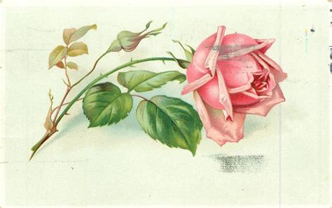 single pink rose stem to left tuckdb postcards