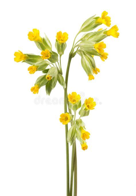 fotografie di fiori primavera fiori di primavera odorosa fotografia stock immagine di