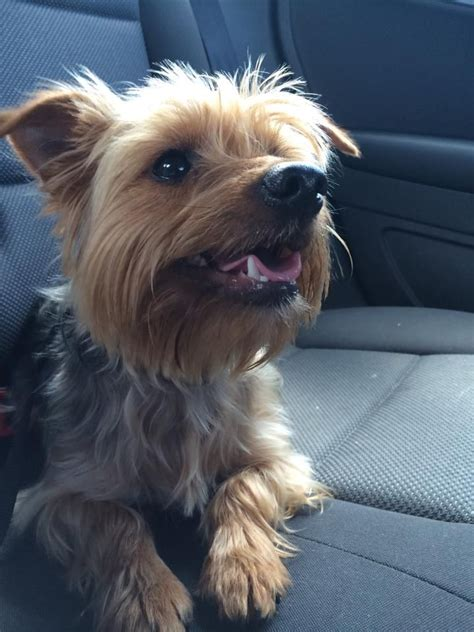 10 month yorkie gorgeous 10 month yorkie available towcester northtonshire pets4homes