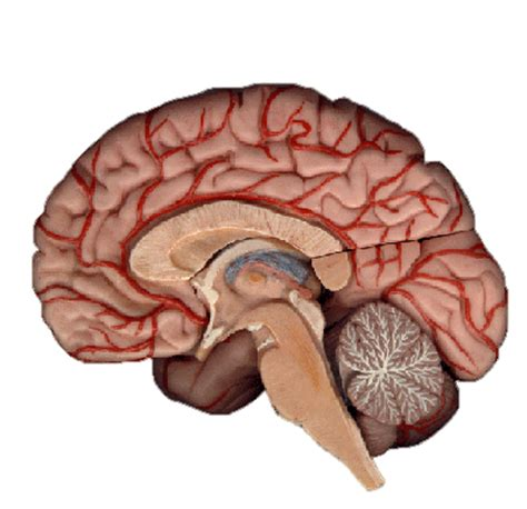 cross section brain scott s blog quot brain and brain what is brain quot star