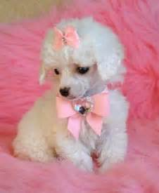 white poodle puppies white poodle puppies in pink dogs picture
