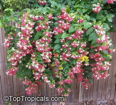 Tropical Climbing Plant - quisqualis hybrid thailand thai double flower rangoon creeper toptropicals com