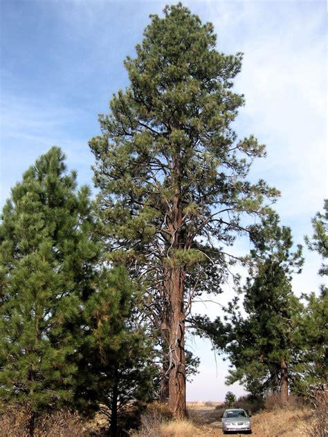 Minyak Pinus pinus ponderosa