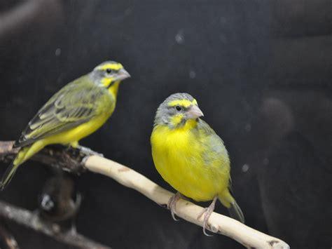 the yellow birds dawn of battle yellow bird
