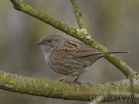 dunnocks a master of disguise wildlife articles