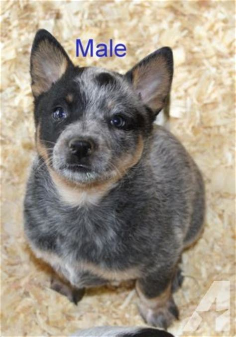 blue heeler puppies for sale indiana blue heeler puppies for sale in minneapolis minnesota classified americanlisted