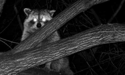 how to a coon to tree a raccoon 5 tips for raccoons at advanced
