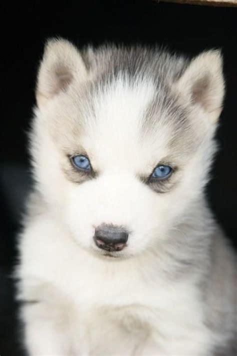 husky puppies with blue baby husky dogs with blue www imgkid the image kid has it