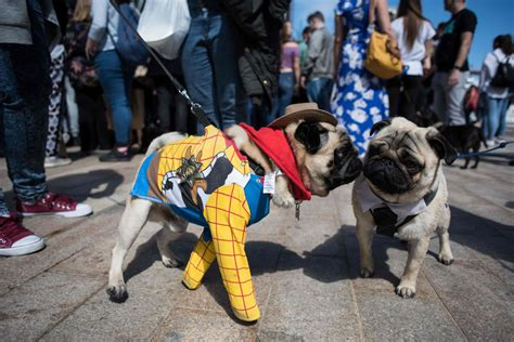 pugs their owners pug dogs and their owners attend pugfest manchester